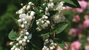 Ciliegia selvatica fragrante bianca stock footage