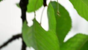 Ciliegia sull'albero 4k stock footage