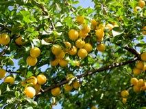 Ciliegia susina nel frutteto di frutta Immagini Stock Libere da Diritti