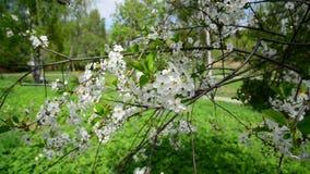 Ciliegio con i fiori bianchi in primavera stock footage