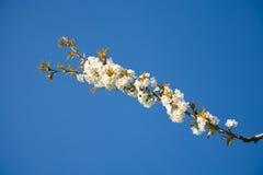 Ciliegio del fiore fotografia stock