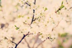 Ciliegio del fiore immagini stock
