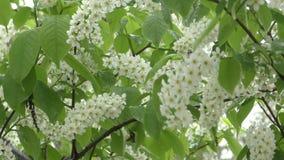 Ciliegio dell'uccello dei fiori bianchi stock footage