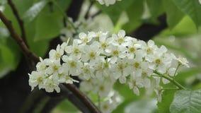 Ciliegio dell'uccello dei fiori bianchi archivi video
