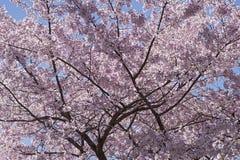 Ciliegio di Awanui Yoshino in fiore fotografia stock