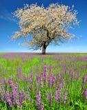 Ciliegio di fioritura Immagine Stock Libera da Diritti