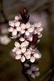 Ciliegio di fioritura Fotografia Stock Libera da Diritti