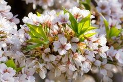 Ciliegio di fioritura Immagine Stock