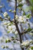 Ciliegio di fioritura della primavera Fotografia Stock