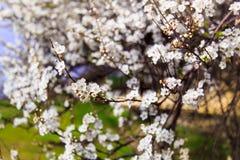 Ciliegio di fioritura La sorgente fiorisce la priorità bassa Fotografie Stock