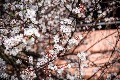 Ciliegio di fioritura La sorgente fiorisce la priorità bassa Fotografia Stock Libera da Diritti