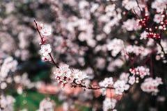 Ciliegio di fioritura, ramo sbocciante Immagini Stock