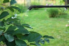Ciliegio di spruzzatura con lo spruzzatore della mano del giardino closeup Immagini Stock
