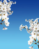 Ciliegio in fiore Fotografie Stock