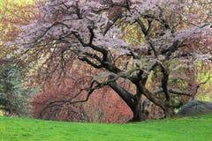 Ciliegio (sargentii del Prunus) Immagine Stock Libera da Diritti