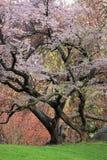 Ciliegio (sargentii del Prunus) Immagine Stock