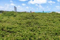 Cima d'albero anacardio del ` s del mondo di più grande - Pirangi, Rio Grande fa Norte, Brasile Fotografia Stock