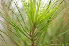 Cima d'albero del pino 2778 (aerei) Fotografie Stock Libere da Diritti