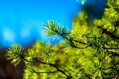 Cima d'albero del pino 2778 (aerei) Immagini Stock