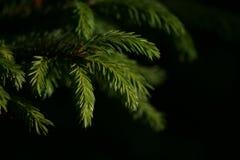 Cima d'albero del pino 2778 (aerei) fotografia stock libera da diritti