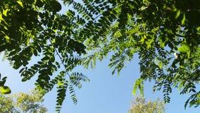 Cima d'albero del robinia pseudoacacia degli alberi dell'acacia Fotografie Stock Libere da Diritti