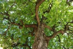 Cima d'albero della carruba Fotografie Stock