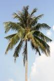 Cima d'albero della palma Immagini Stock