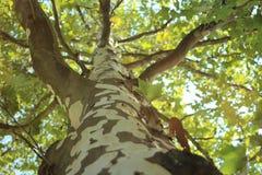 Cima d'albero di grande, vecchio albero Immagini Stock