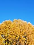 Cima d'albero dorata di autunno Fotografia Stock Libera da Diritti