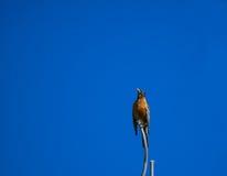 Cima d'albero Robin Fotografie Stock