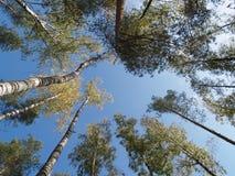 Cima d'albero sul cielo della priorità bassa Immagini Stock