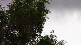 Cima d'albero in vento stock footage