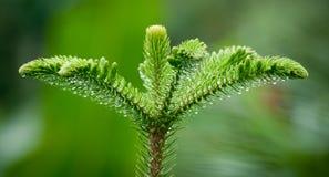 Cima del pino Fotografia Stock
