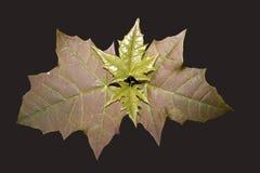 Cima del ramo con le giovani foglie di acero gialle e rosse Immagine Stock Libera da Diritti
