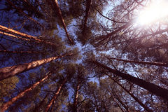 cima del ramo del pino e dell'abete dell'abete del cielo Fotografia Stock