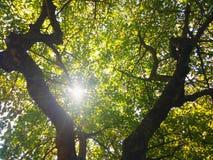 Cima dell'albero al sole Immagine Stock Libera da Diritti