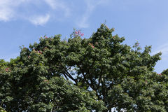 Cima dell'albero con cielo blu immagini stock libere da diritti