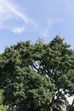 Cima dell'albero con cielo blu immagine stock libera da diritti