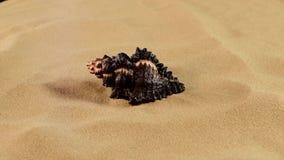 Cima della conchiglia marina nera insolita sulla sabbia stock footage