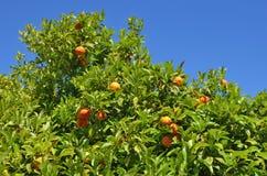Cima della corona di un arancio con i frutti maturi contro Fotografia Stock Libera da Diritti