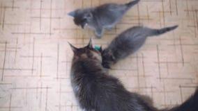 Cima della vista che mette un certi alimento e lettiera dei gattini di Maine Coon con la loro mummia che mangia cibo per gatti sa video d archivio