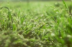 Cima delle gocce del leavesDew del t? verde di mattina che ? esposta a luce solare fotografia stock libera da diritti