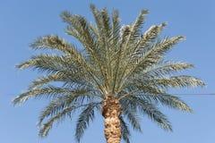 Cima di grande albero della palma da datteri Fotografie Stock