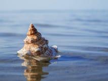 Cima di pleuroploca trapezium sopra acqua Fotografia Stock