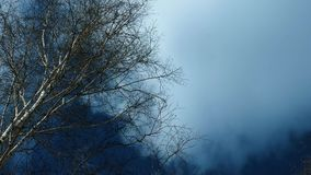 Cima di un albero di betulla con i rami verdeggianti stock footage