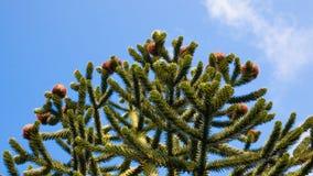 Cima di un albero dell'araucaria Fotografia Stock