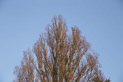 Cima triangolare dell'albero contro il cielo blu Fotografia Stock