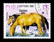 Cimarrones (Equus ferus caballus), konia seria około 2005, Zdjęcie Royalty Free