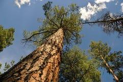 Cime d'albero Immagine Stock Libera da Diritti