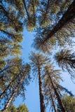 Cime d'albero dei pini della foresta con cielo blu Immagini Stock